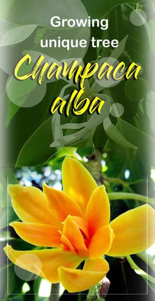 champaca   Michelia Champaca  Champaca alba   perfume tree