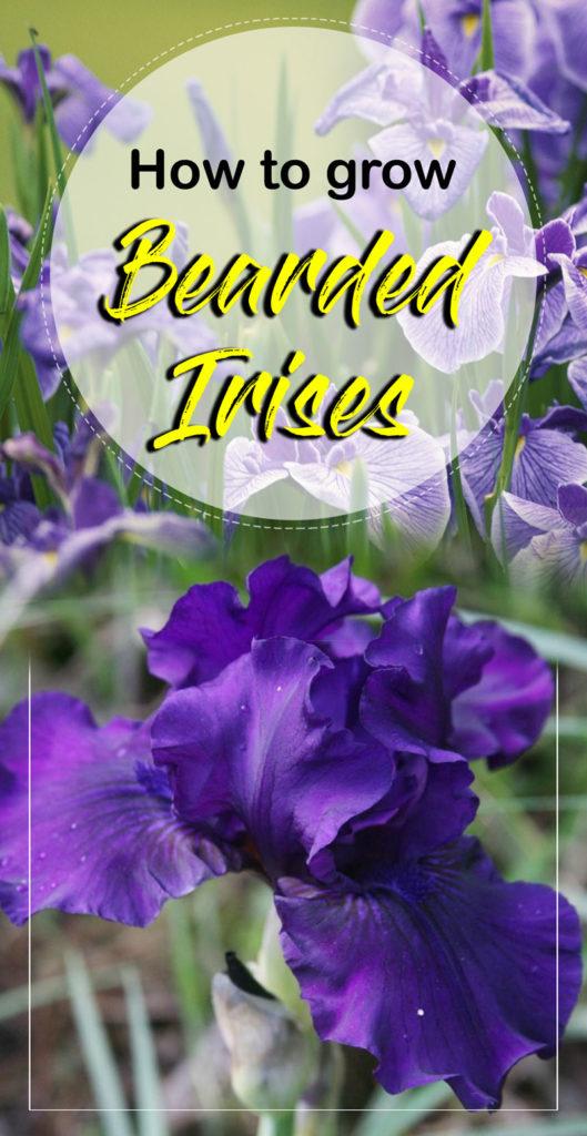 Iris plant | Bearded Iris flowers | growing irises