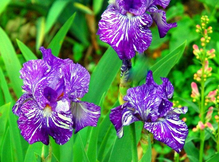 How to grow Iris flowers | Bearded Iris | Growing Irises