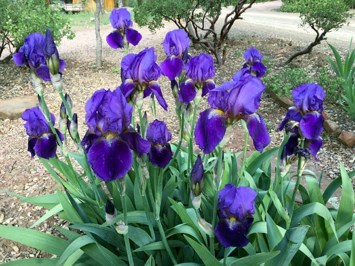 Irises care