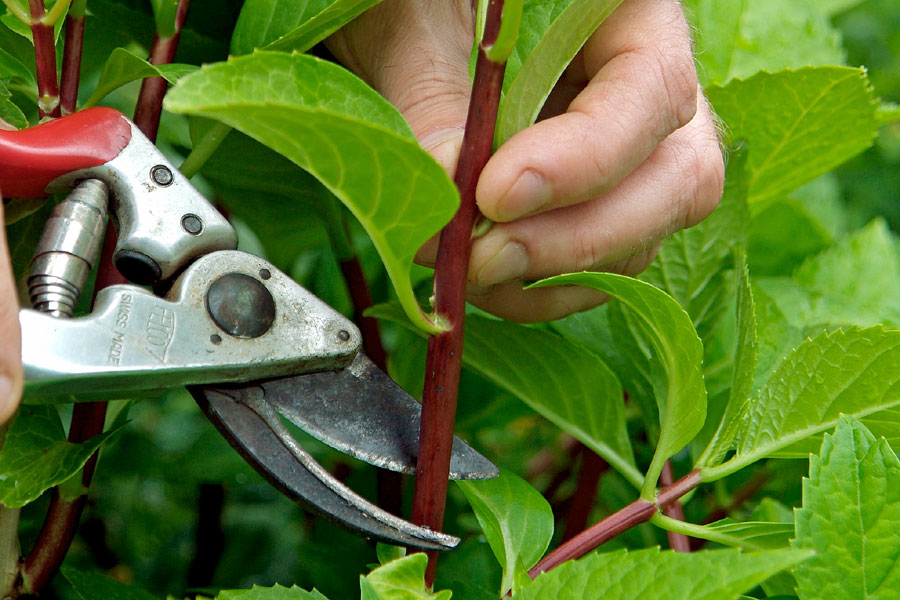 How to Propagate plants | Softwood Cutting | Plant propagation