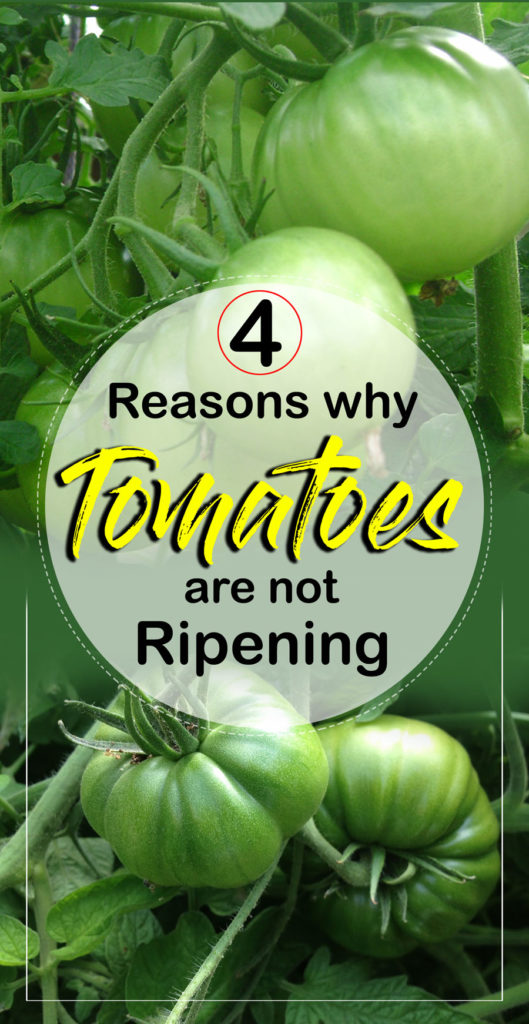 Ripening | Why Tomatoes are not Ripening | Lycopene