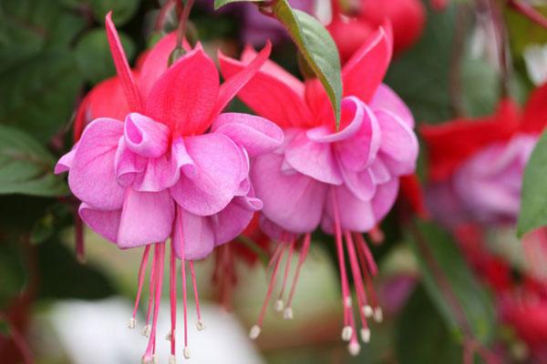 Growing Fuchsia plant |How to grow fuchsia in a pot | Fuchsia Care