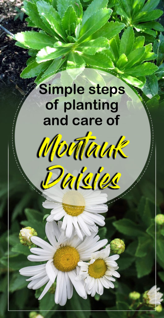 Montauk Daisies | Nippon daisies | daisy flower