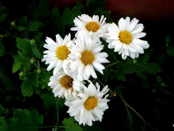 Nippon daisies