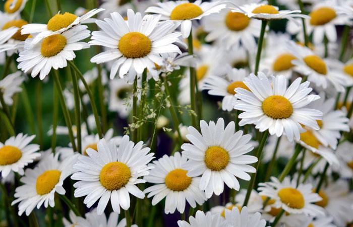Nippon daisies | how to grow montauk daisies
