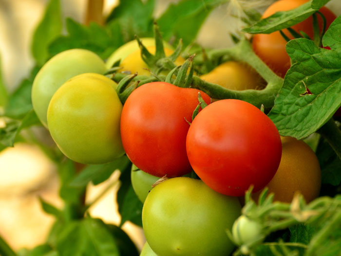 Ripening | ripening tomatoes | Why Tomatoes are not Ripening