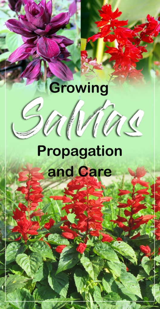 Salvias
