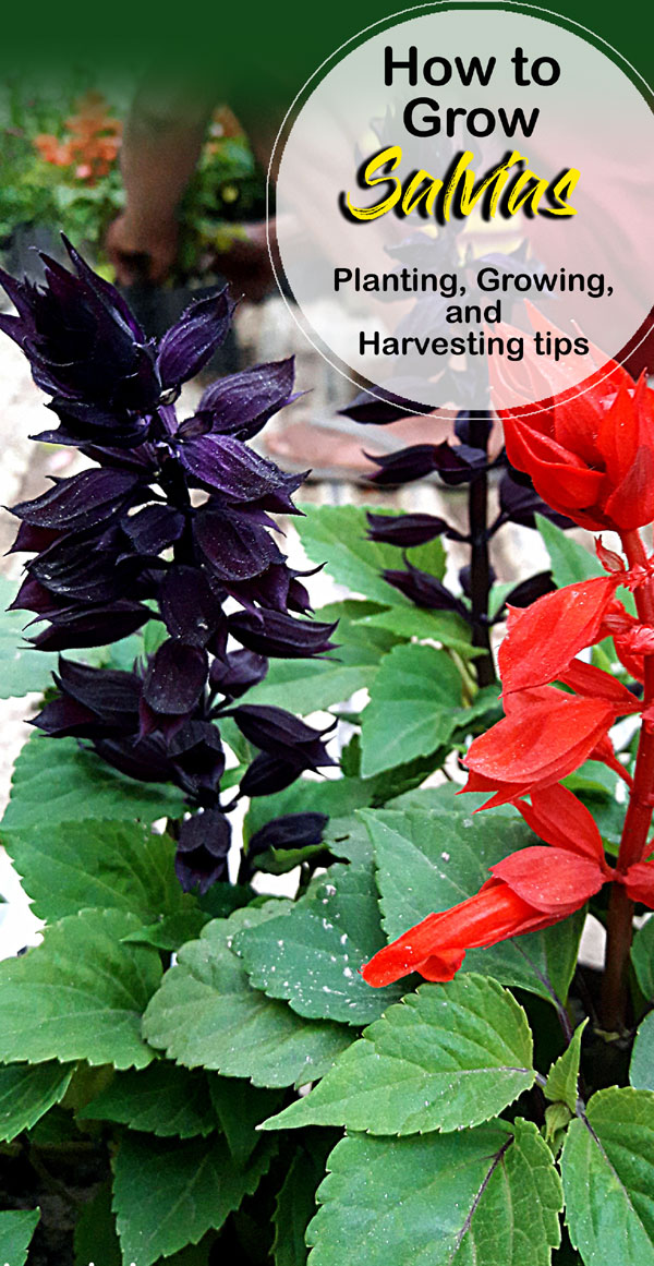 Salvias | sage plants | Salvia plants