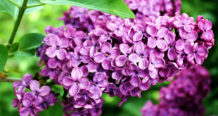 How to grow and care Lilac Shrubs | Easy tips by Nature Bring