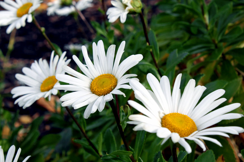 Montauk Daisies Growing And Care How To Grow Montauk