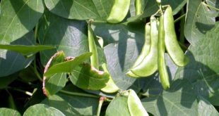 A simple way of growing and care of Lima Beans | Butter Beans