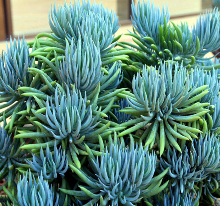 How to grow and care about great Blue Chalk Stick | Senecio plants