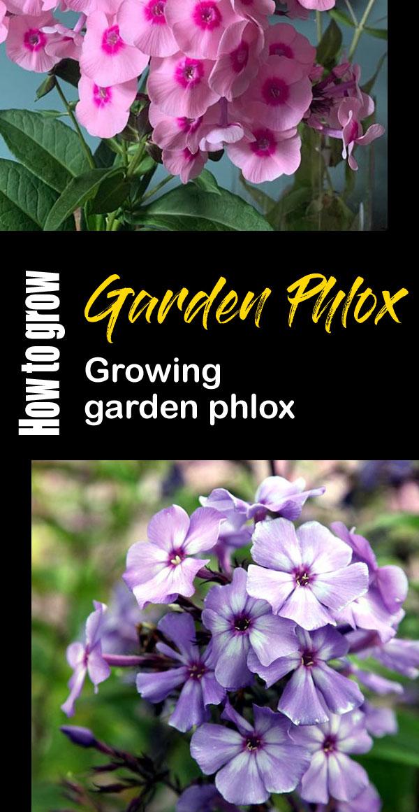 Phlox | phlox care | phlox flower