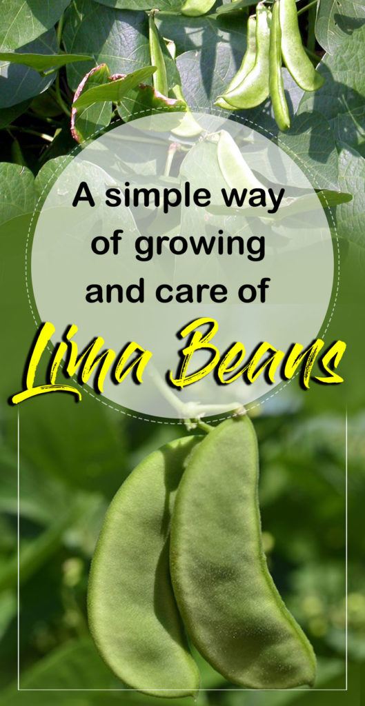 Lima Beans | butter beans | Growing lima beans