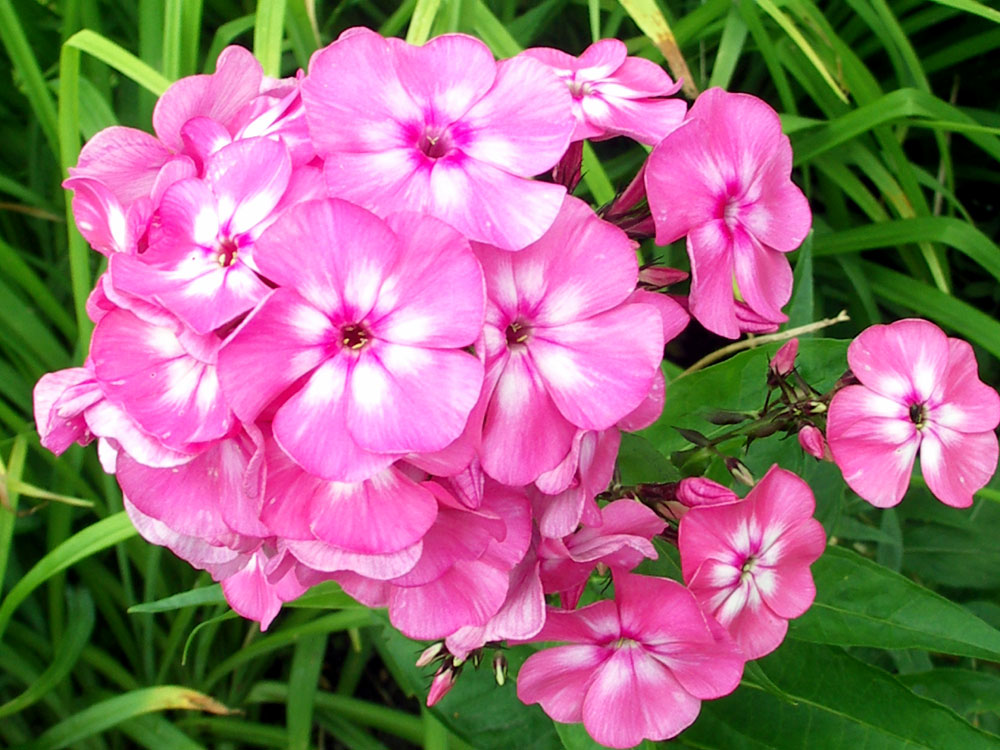 How to grow Garden Phlox | Phlox care | Propagation garden phlox