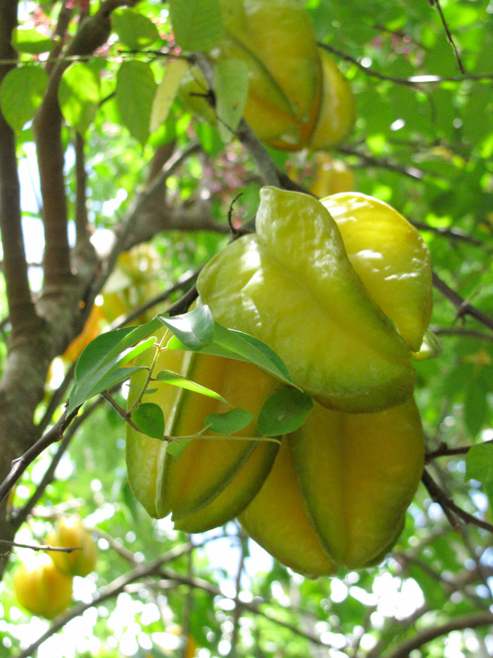 Growing Star fruit | How to grow star fruit tree from seed | carambola fruit