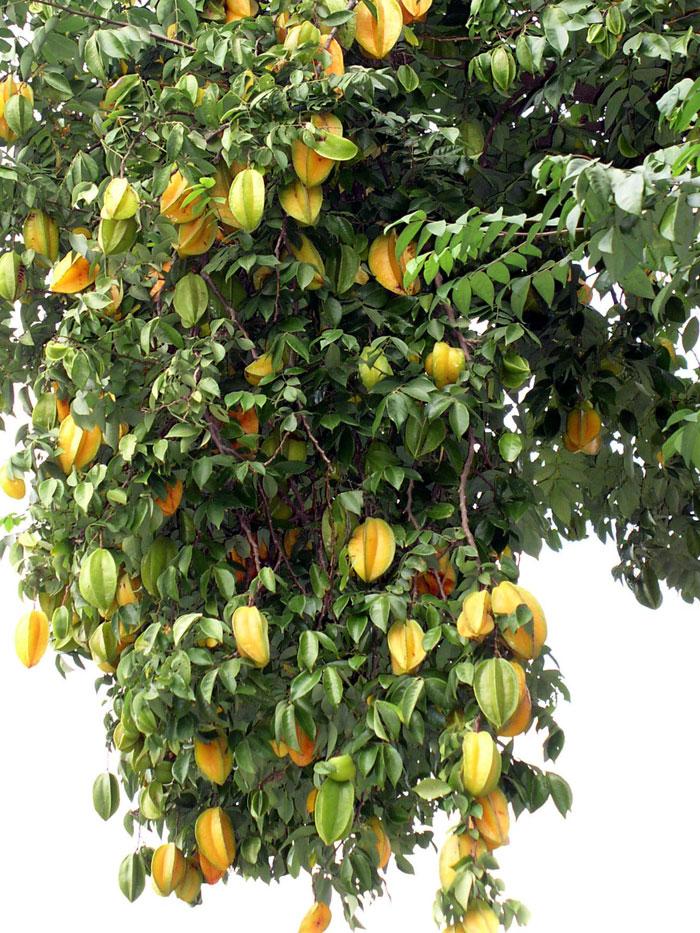 Growing Star fruit | carambola fruit