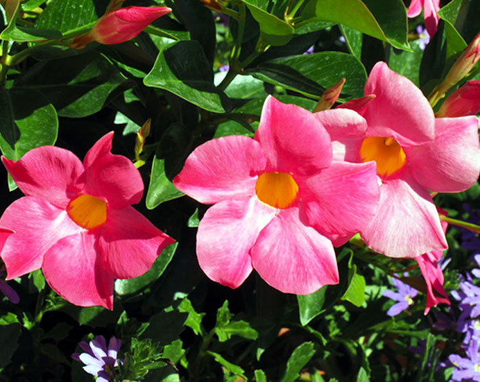 How to grow Mandevilla in a container | Growing Mandevilla plant | Dipladenia