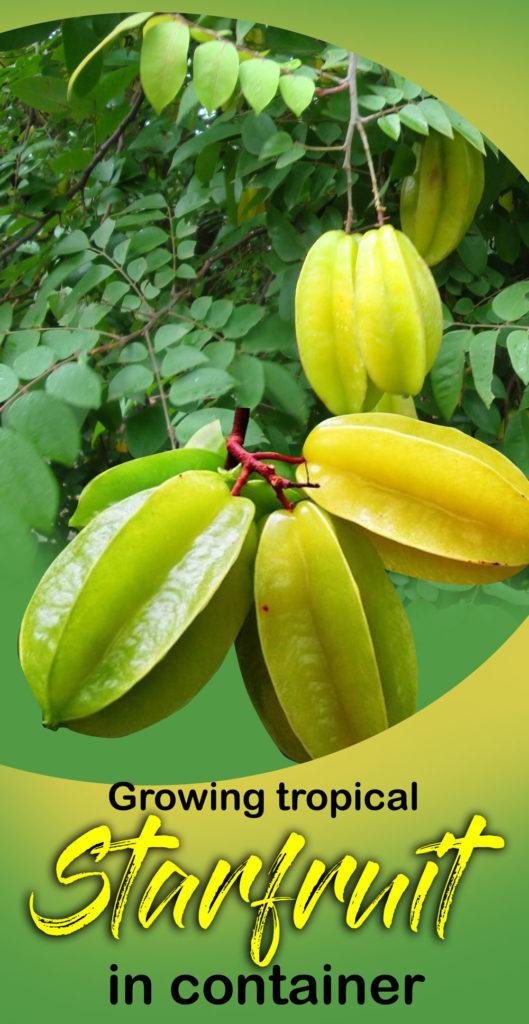 star fruit tree | carambola fruit