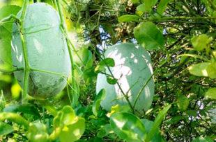 Ash Gourd