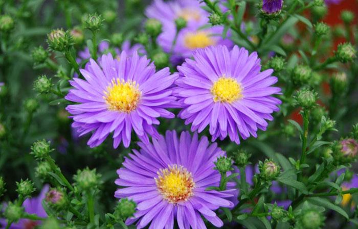 Aster daisy