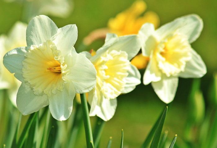 How to grow Daffodil | Daffodil Bulbs | Growing daffodils indoors