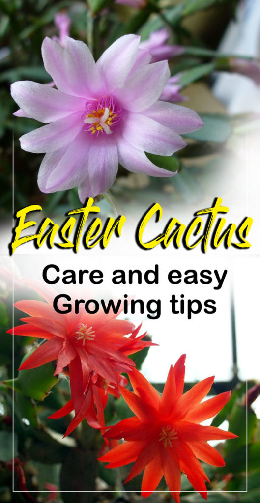 Easter cactus | holiday cactus | thanksgiving cactus