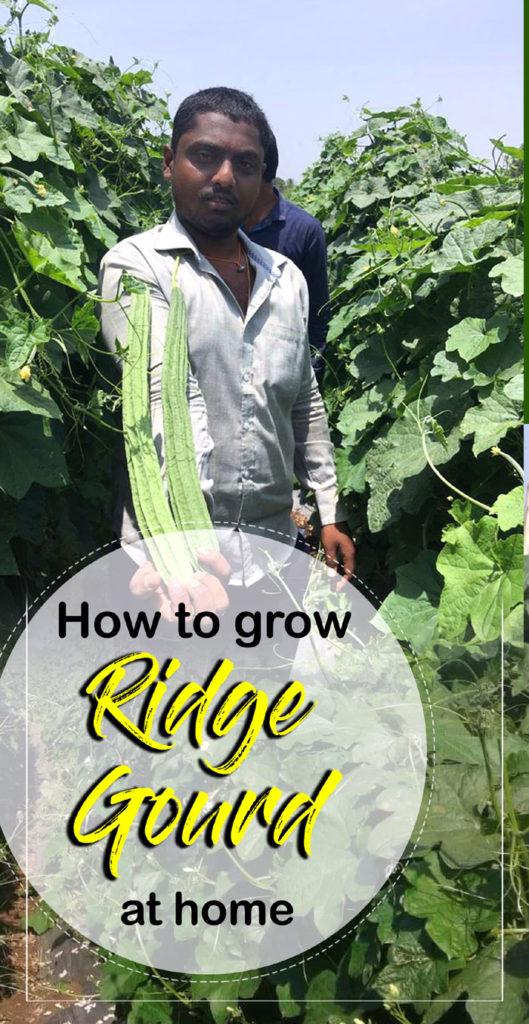How To Grow Ridge Gourd At Home Ridge Gourd Care