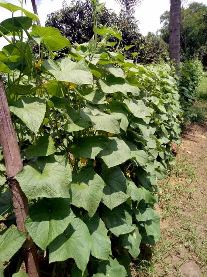 Ridge Gourd | Growing Ridge Gourd | Turai