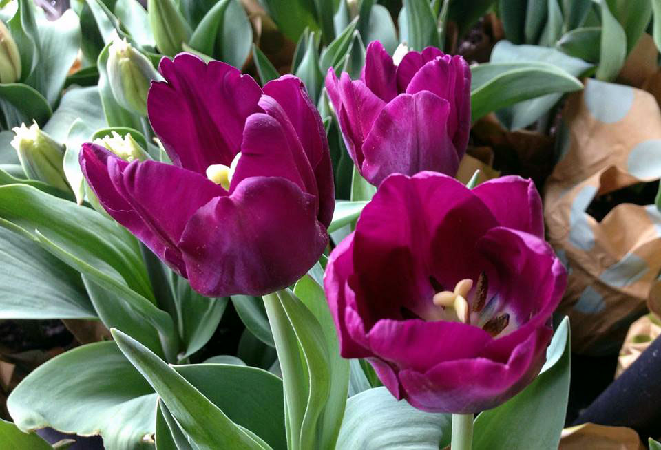 How to grow Tulips | Tulip Bulbs | Growing tulips in pots | Tulip Care