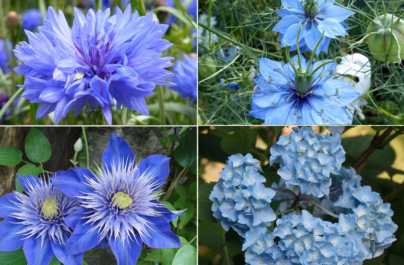 Best Blue flowers | How to grow Blue flowers | Growing Blue flowers