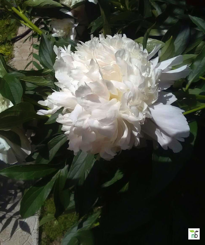 peonies | Growing peony flower