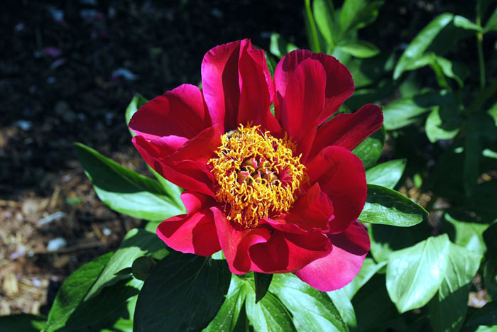 How to grow peonies flower in containers | Growing peony flower