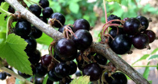 Growing Black Currant  in containers | Nature Bring