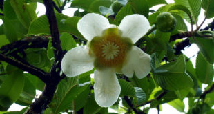 Elephant apple | Growing condition and Health Benefits