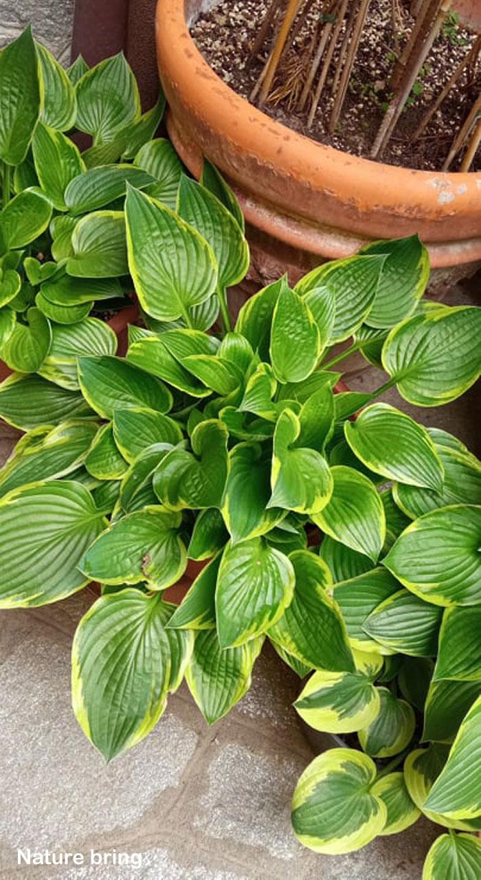 Growing Hosta plant indoor