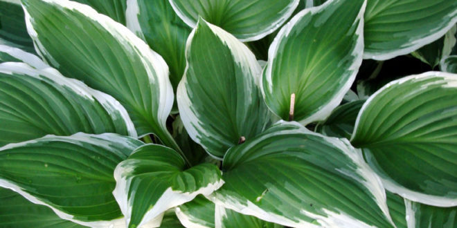 How To Grow Hostas Growing Hosta Plant Indoor Hostas Care
