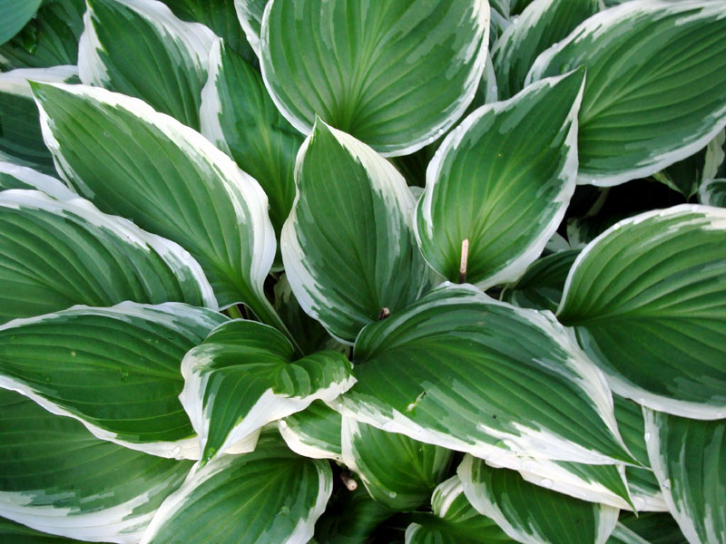 How to grow Hostas | Growing Hosta plant indoor | Hostas care