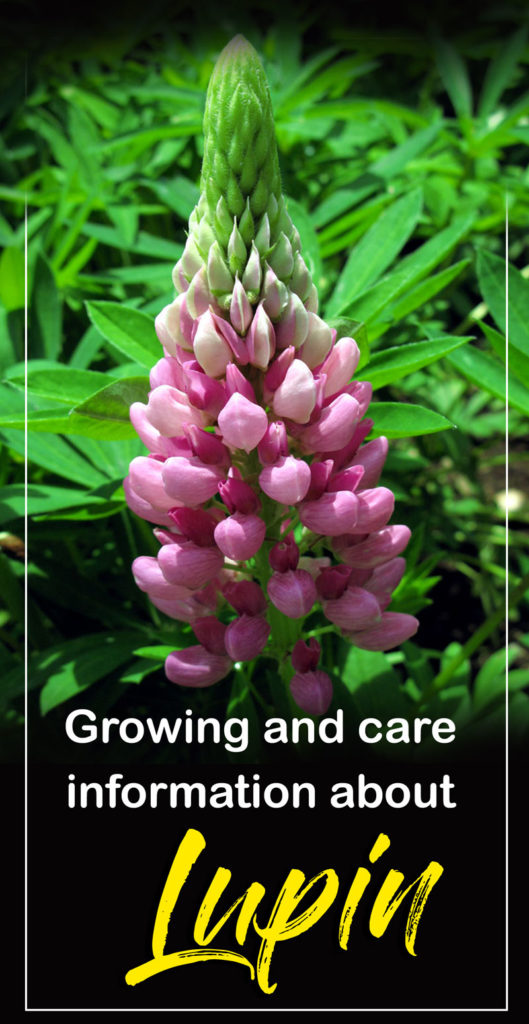 Growing Lupine flowers | Lupin plant | perennial