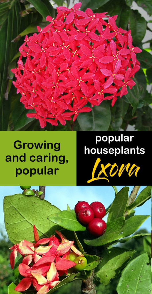 Buy Ixora In Orlando Florida Lake Mary Kissimmee Sanford: Growing And Caring Ixora Houseplants