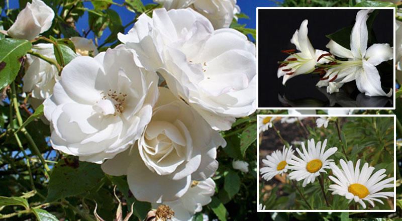 White flowers | create a peaceful landscape with white flowers