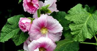 Hollyhock growing information and care guide