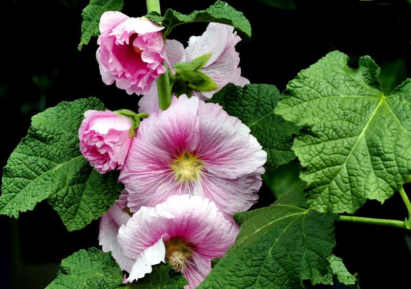 How to grow Hollyhock | Growing and caring Hollyhocks