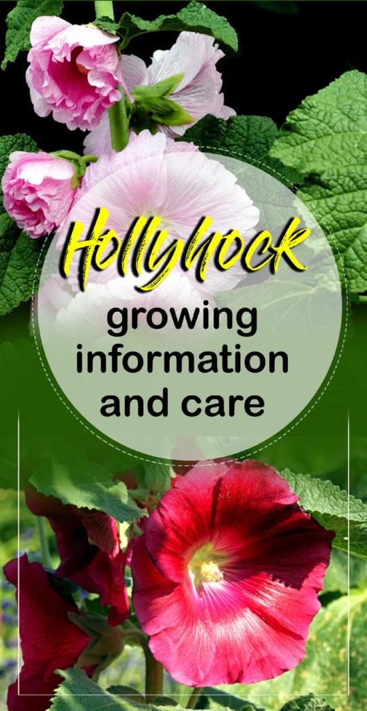 Hollyhock | hollyhock flower | Alcea Rosea