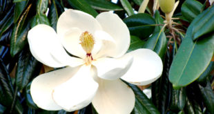 Magnolia beautiful, aromatic flowers | Growing and caring