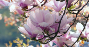 Beautiful, aromatic Magnolia flowers | Growing and caring