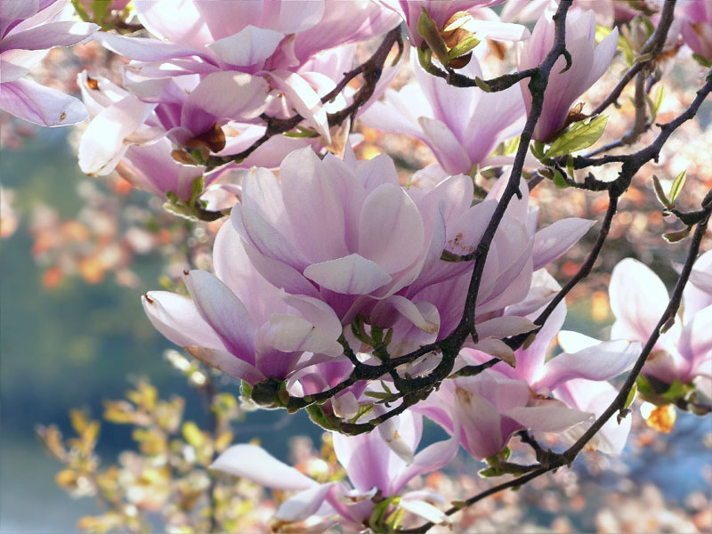 How to grow Magnolia flowers | Growing  Beautiful, aromatic Magnolia