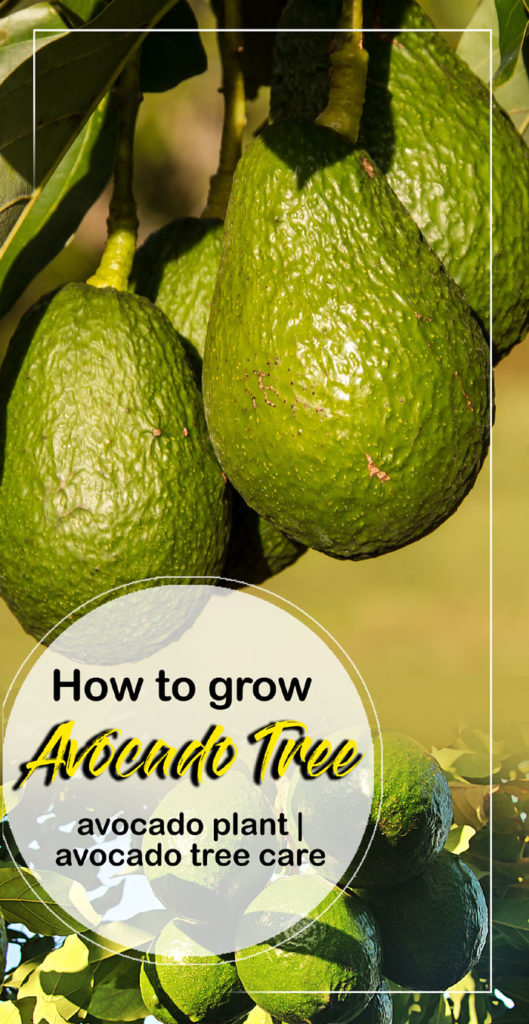 How to grow Avocado Tree | Growing an Avocado tree in containers