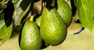 How to grow Avocado Tree | Butter fruit | Avocado tree care
